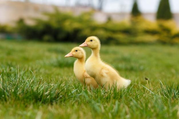 Patinho dois amarelo pequeno na grama verde. Foto Premium
