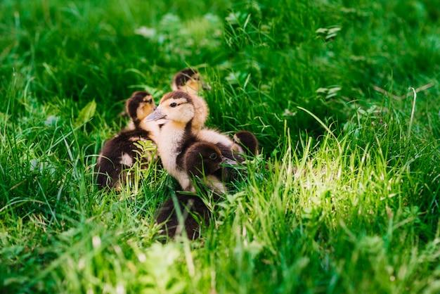 Patinhos na grama verde Foto gratuita