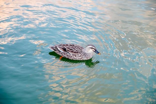 Pato nadando na piscina Foto gratuita