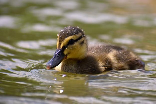 Pato novo bonito na superfície de uma lagoa. vida selvagem em um dia ensolarado de verão. pássaro de água jovem. Foto gratuita