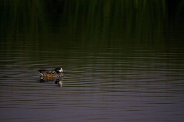 Pato saindo no lago verde Foto gratuita