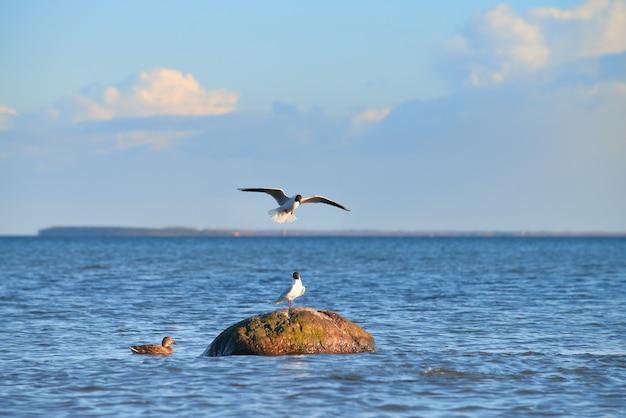 Pato selvagem e gaivotas ao redor da pedra no mar báltico Foto Premium