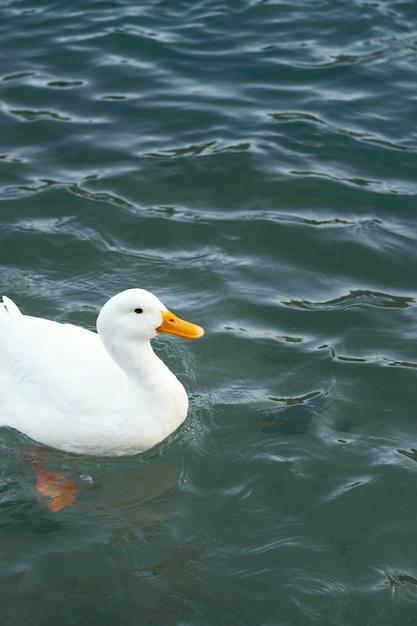 Pato selvagem flutuando na água Foto gratuita