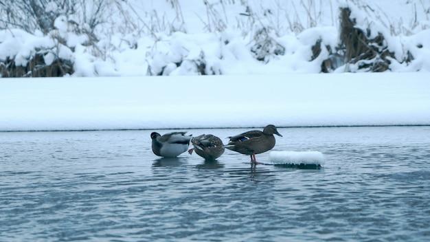 Patos na água no inverno Foto gratuita