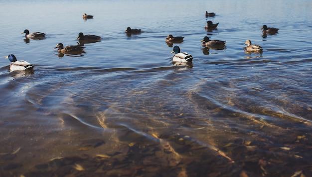 Patos nadam na lagoa Foto Premium