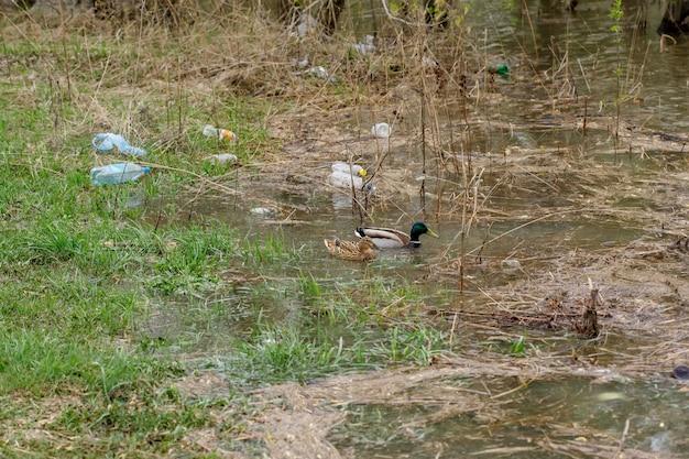 Patos nadando em um rio com garrafas de resíduos Foto Premium