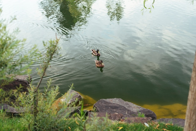 Patos nadando na vista superior do lago Foto gratuita