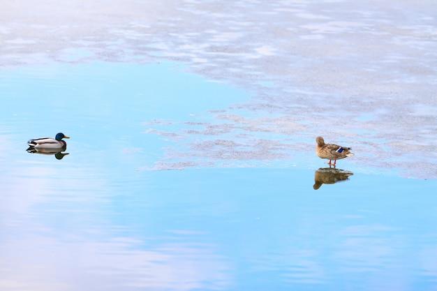 Patos no gelo Foto Premium