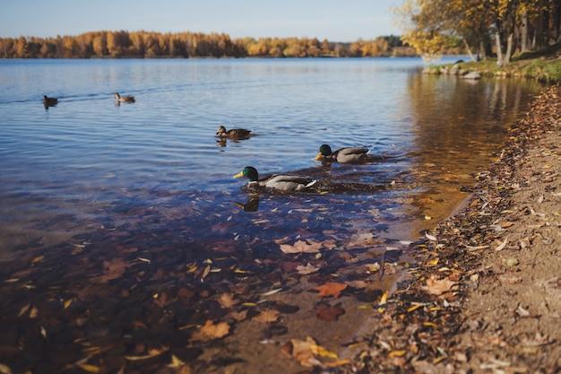 Patos no rio Foto Premium