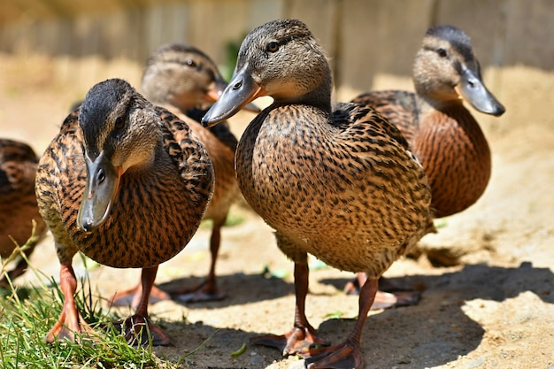 Patos selvagens bonitos na lagoa. vida selvagem em um dia ensolarado de verão. pássaro de água jovem. Foto gratuita