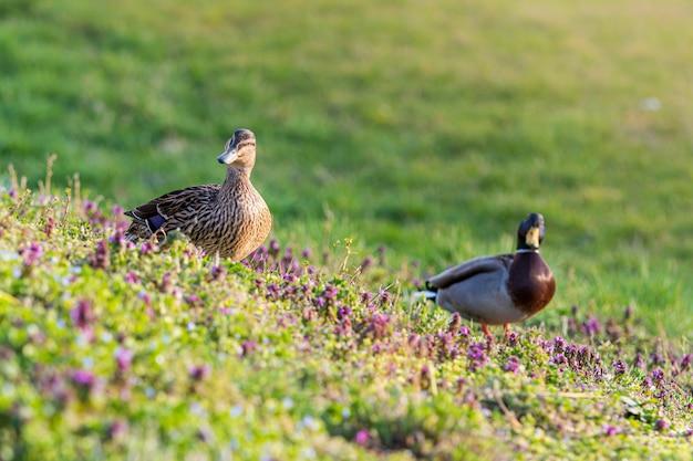 Patos selvagens cercados por vegetação em um campo sob a luz do sol Foto gratuita