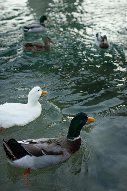 Patos selvagens flutuando na água Foto gratuita