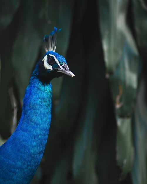 Pavão azul cercado por vegetação sob as luzes com um fundo desfocado Foto gratuita