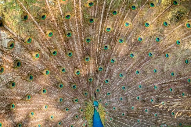 Pavão macho com penas totalmente desdobradas do seu conto. Foto Premium
