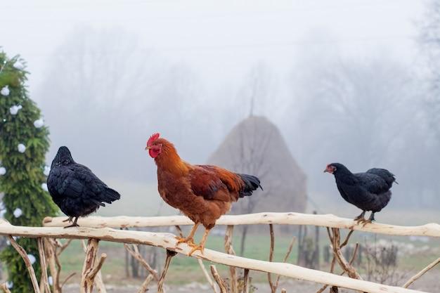 Pé de frango vermelho na cerca de madeira com gaiola no fundo Foto Premium