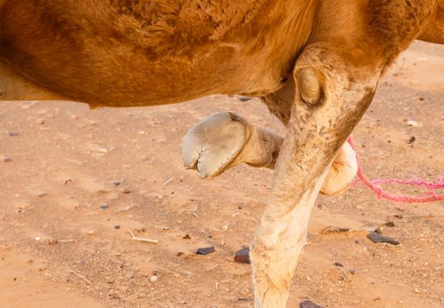Pé de um camelo com uma perna dobrada Foto Premium