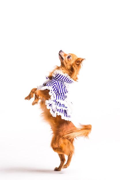 Pé marrom vestido do cão nos pés traseiros isolados no fundo branco Foto gratuita