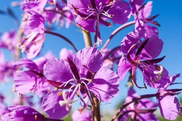 Peça do close-up da flor cor-de-rosa do fireweed contra o céu azul. Foto Premium