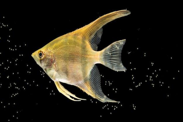 Peixe betta bonito amarelo isolado bolhas e fundo preto Foto gratuita