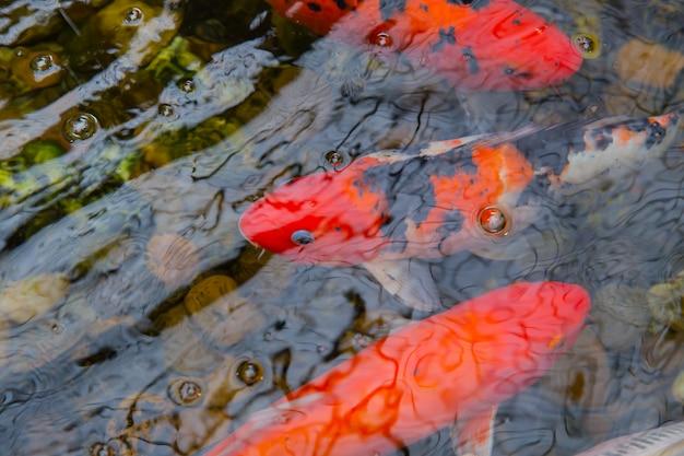 Peixe carpa koi ou peixe brocado na lagoa com água refletir cores coloridas vibrantes vermelhas de luz de onda Foto Premium