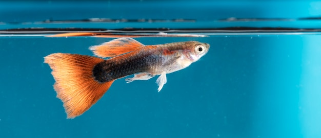 Peixe de aquário, guppy Foto Premium