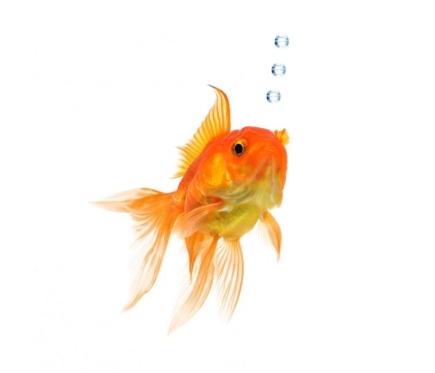 Peixe de ouro isolado em um fundo branco. Foto Premium