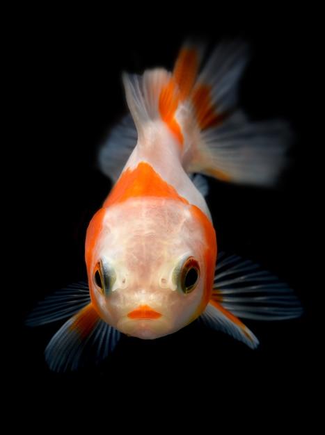 Peixe dourado jovem no aquário. Foto Premium