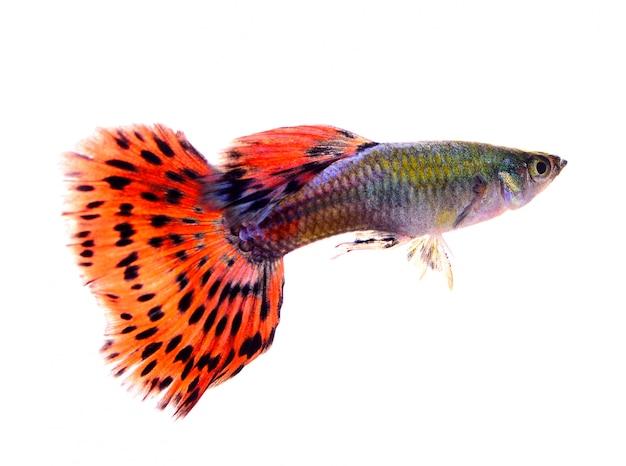 Peixe guppy isolado no espaço em branco Foto Premium