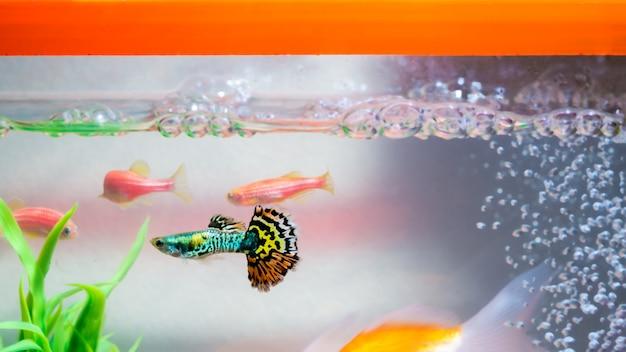 Peixe guppy no aquário ou aquário Foto Premium