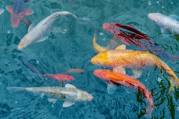 Peixe imperial de ouro e vermelho na água Foto Premium
