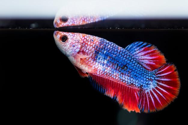Peixe lutador (betta splendens) peixe com uma bela Foto Premium