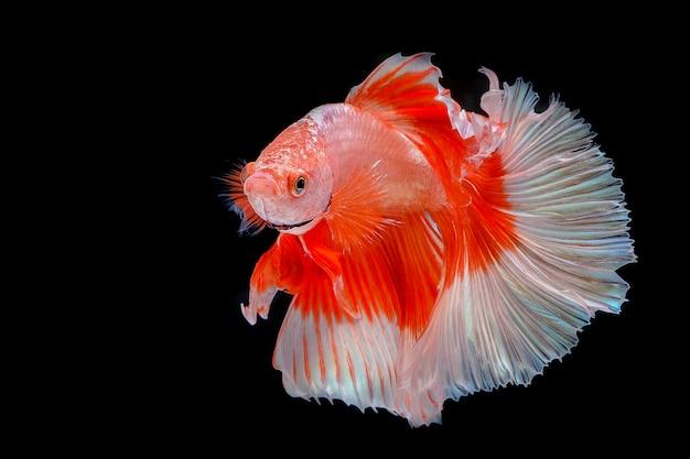 Peixe-lutador-siamês em fundo preto Foto Premium