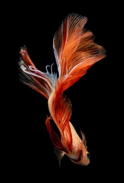Peixe-lutador-siamês vermelho e laranja Foto Premium