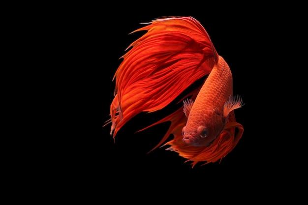 Peixe-lutador-siamês vermelho ou betta splendens fantasia de peixe em fundo preto Foto Premium