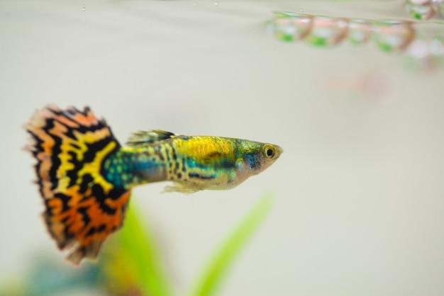 Peixe pequeno guppy em aquário ou aquário, Foto Premium