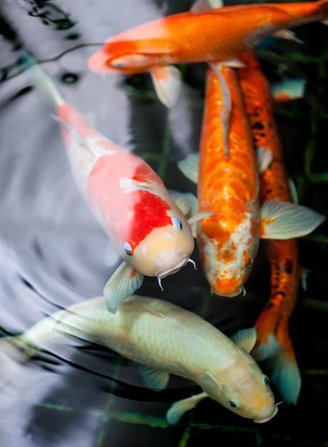 Peixes coloridos de koi com ondinha da água no gourami do zen Foto Premium