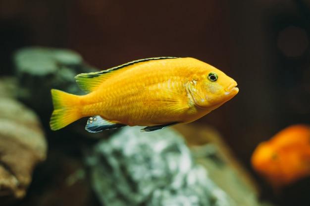 Peixes de aquário amarelo Foto Premium