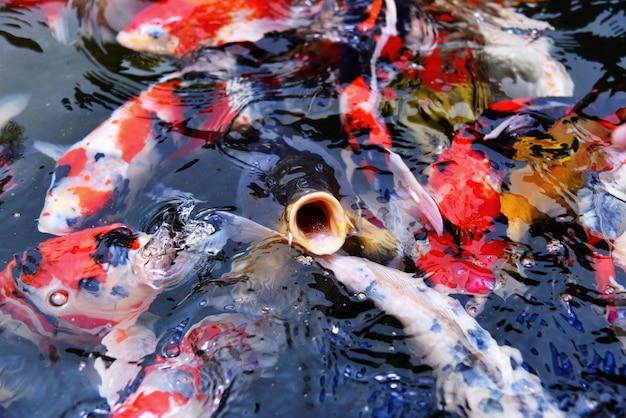Peixes de koi fantasia colorido na superfície da água Foto Premium