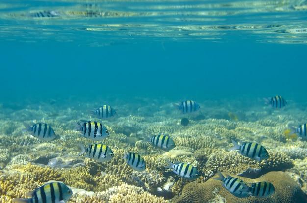 Peixes e corais tropicais no mar vermelho, egito. Foto Premium