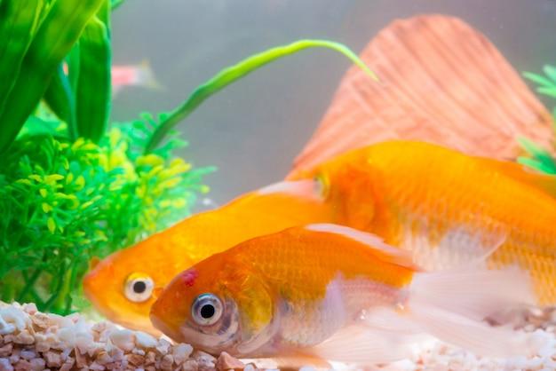 Peixes pequenos no aquário ou no aquário, peixes do ouro, guppy e peixes vermelhos, carpa extravagante com planta verde, vida subaquática. Foto Premium
