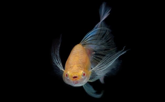 Peixes pequenos que são coloridos e bonitos., o peixe tem uma cauda azul pálida bonita., isole os peixes guppy enquanto nada no fundo preto. Foto Premium