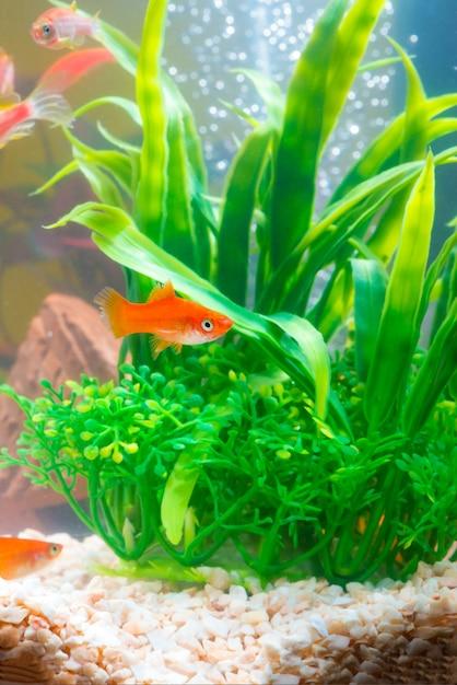 Peixes vermelhos pequenos com a planta verde na vida subaquática do aquário ou do aquário. Foto Premium