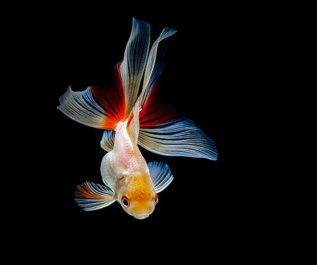Peixinho isolado em um fundo preto escuro Foto Premium