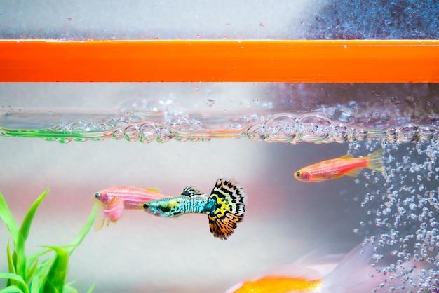 Peixinhos no aquário ou aquário, peixe guppy e vermelho Foto Premium