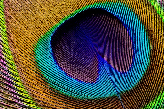 Pena de pavão asiático close-up Foto Premium