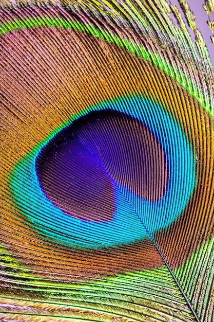 Pena de pavão asiático fechar uo Foto Premium