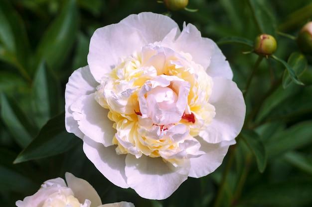 Peônia branca e rosa delicada com um núcleo amarelo. Foto Premium