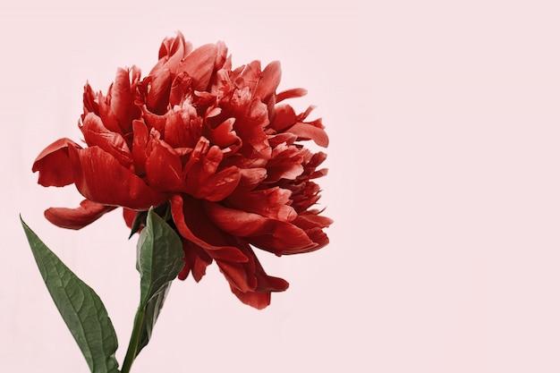 Peônia vermelha brilhante sobre fundo rosa. flor de peônia. cartão holiday com espaço de cópia. Foto Premium