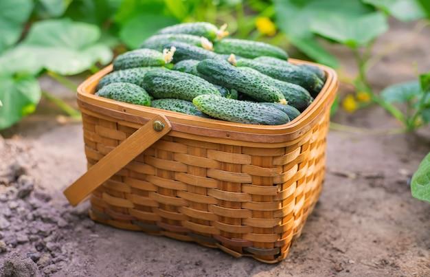 Pepinos frescos e saborosos em uma cesta Foto Premium