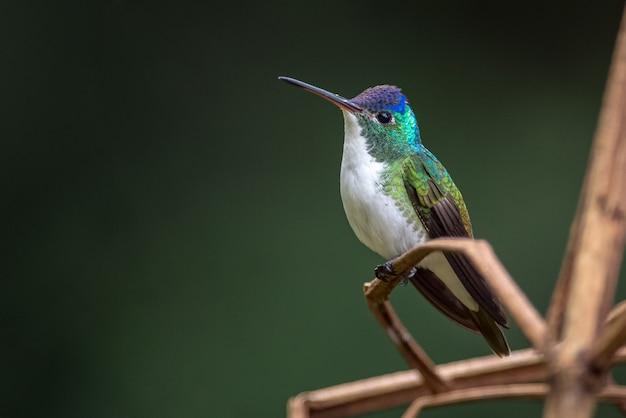 Pequeno beija-flor descansando em alguns galhos secos Foto Premium